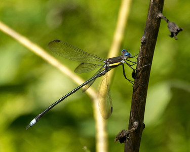 archilestes grandis - Great Spreadwing Damselfly