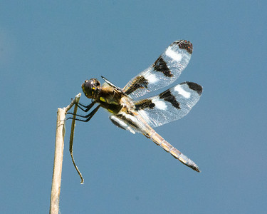12-Spotted Skimmer (m)