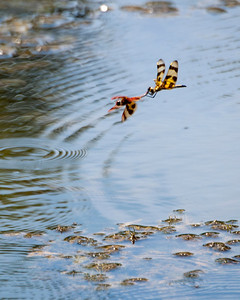 Halloween Pennant (Celithemis eponina) Dragonflies - Male in front, female in back.