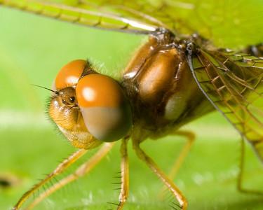 """Eastern Amberwing CU7790 - """"Caramel Dragonfly"""""""
