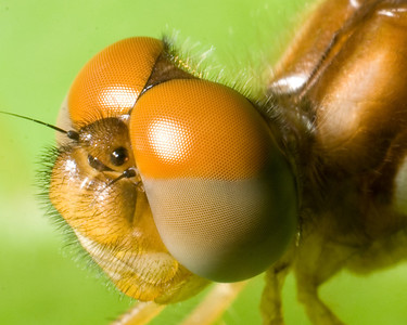 Eastern Amberwing (Perithemis tenera) (possibly m) Dragonfly 7790 - Super Close-Up