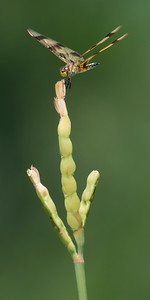 Halloween Pennant (Celithemis eponina) female