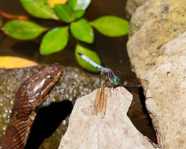 Blue Dasher (Pachydiplax longipennis) (m)