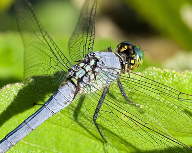 Dragonfly - A fascinating subject in insect wing structure.