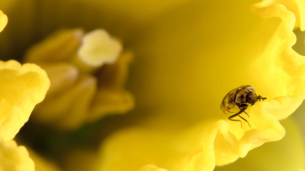 Bug  on Daffodil
