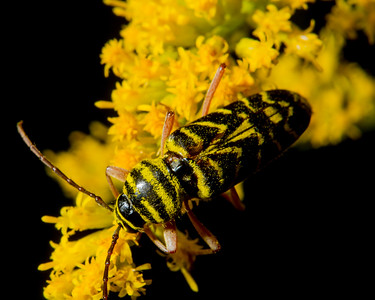 Locust Borer (Megacyllene robiniae) GX3643