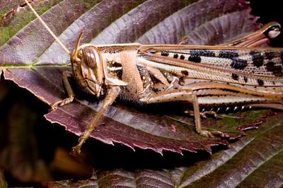 American Bird Grasshopper (Schistocerca americana)