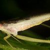 Two-Spotted (Smooth Legged) Tree Cricket