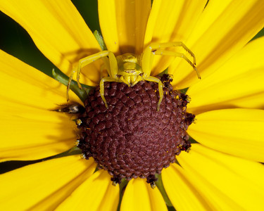 Spider - White-Banded Crab Spider (f) - SC8120
