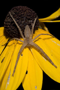 Spider - Nursery Web Spider D8175