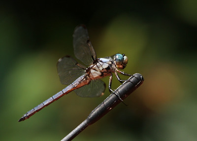 A dragonfly sits on a car antenna, Westhampton Beach, NY.