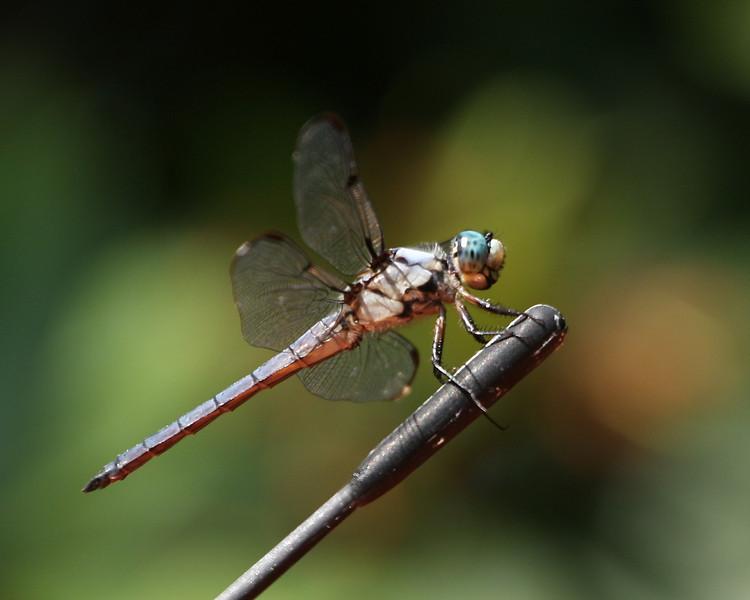 A dragonfly sits on a car antenna, Westhampton Beach, NY.