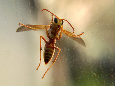A wasp (I think) on my greenhouse window.