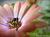 Hoverfly on Osteospermum