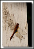 Dragonfly in our yard - probably a Cardinal Meadowhawk.
