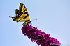 A Swallowtail on a Butterfly Bush
