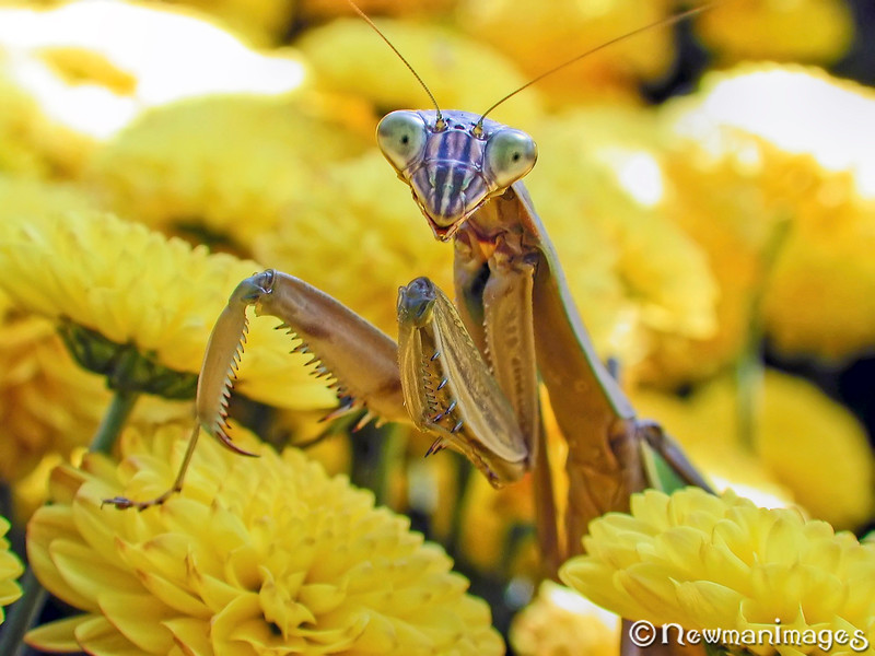 Chrysanthemantis