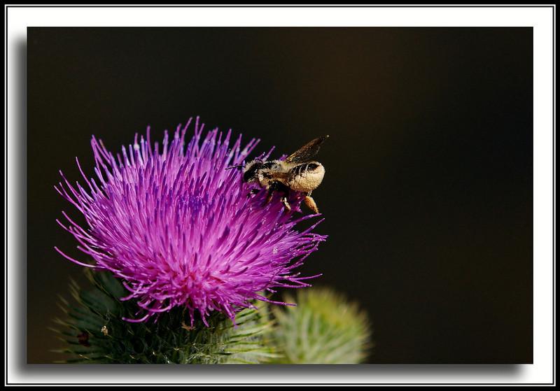 Bee on Thistle - at Reifel Bird Sanctuary