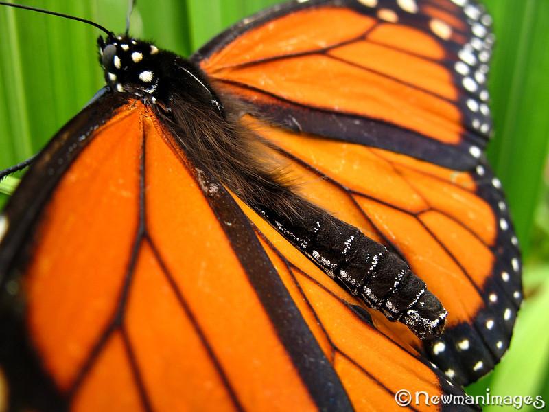 Monarch Hippie