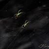 Orcid Spider