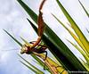 Mantis on Yucca