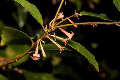Puriri flowers