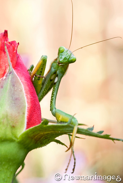 Curious Mantis