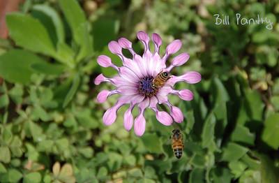Spoon petaled flower & bees