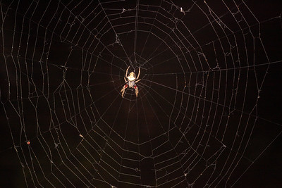 Garden Orbweb Spider (Eriophora pustulosa)