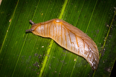 Native Leaf-veined slug (Athoracophoridae)
