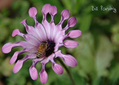 Spoon petaled flower & bee