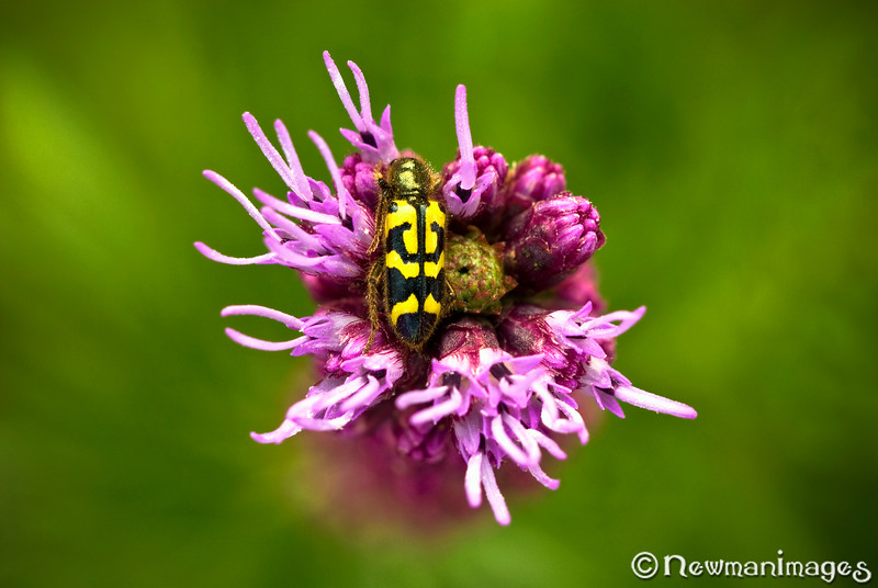 Checkered Beetle on Liatris