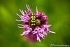 Checkered Beetle on Liatris