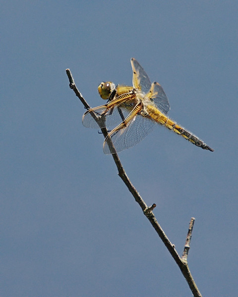 First Dragonfly of the season, Richmond, BC.