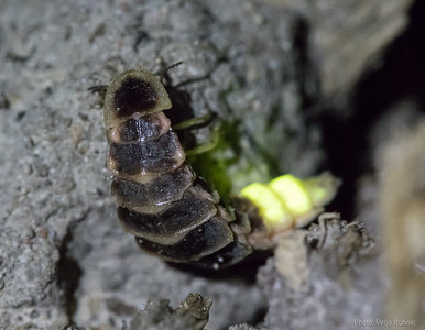Glowworm Lampyris noctiluca