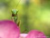 Summertime Mantis