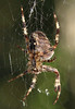 Test of Hoya Macro Lenses 4+2+1 __ This spider was maybe 3/4's of an inch (2 cm) across it's widest point top to bottom. ___<br /> <br /> 2003-09-28 3632_CRW_03