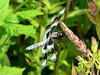 July 12 - near Vancouver Airport<br /> <br /> Eight-spotted Skimmer (Libellula forensis) Male Dragonfly<br /> <br /> .