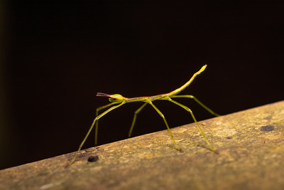 Baby stick insect