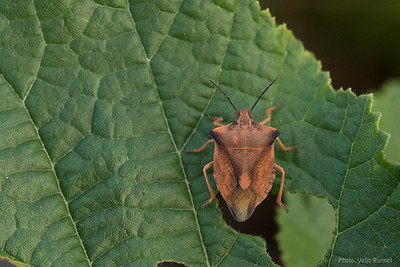 Caprocoris fuscipinus (most likely)
