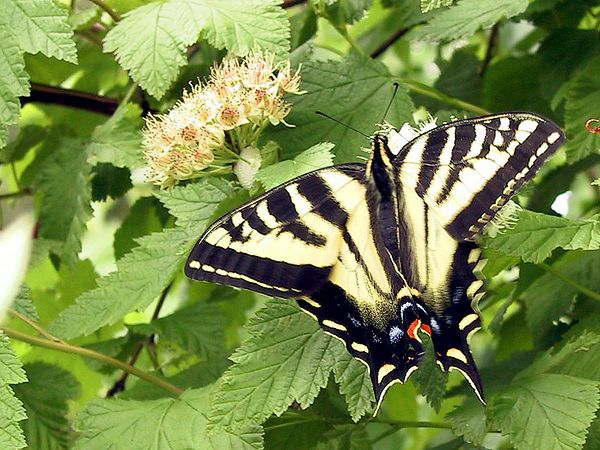 A Tiger Swallowtail(?)... seen all over BC.  2001-06-13_1939_Butterfly.jpg