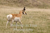 Pronghorn (Antilocapra americana)