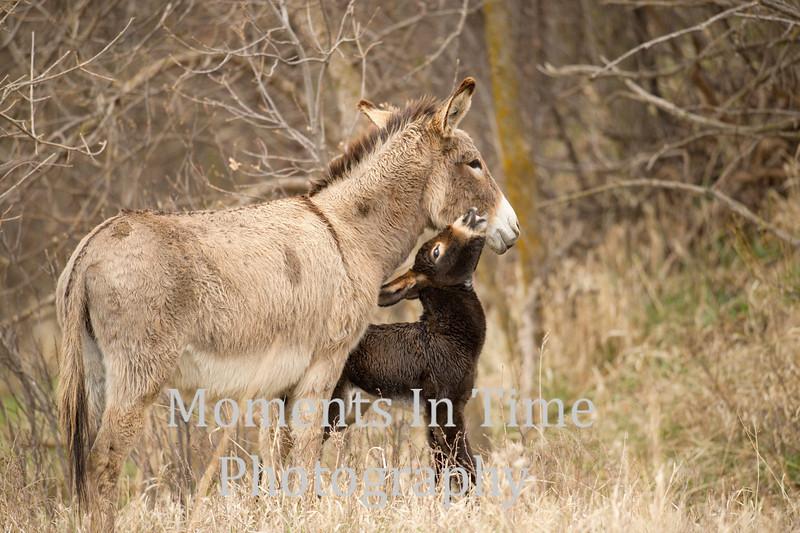 burro (Equus Africanus asinusd)