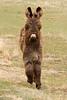 burro (Equus Africanus asinus)
