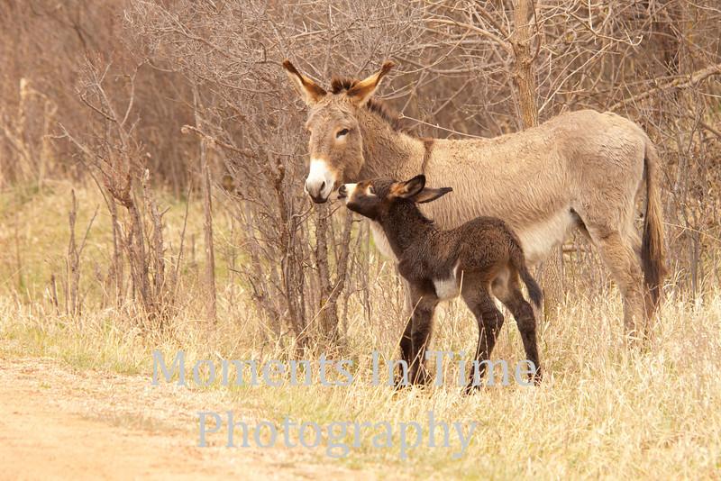 burro  (Equus asinus asinus)