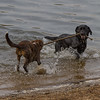 Dogs Playing in the River Thames