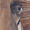An African wood-owl rests in the rafters of the park gate building. The squirrels and other birds were fussin' at him (as we say in Texas)!
