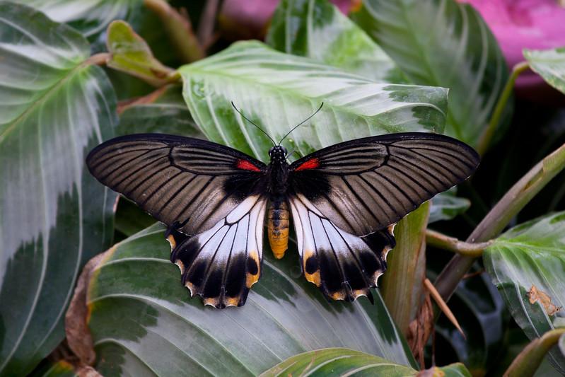 Scarlet Swallowtail Butterfly