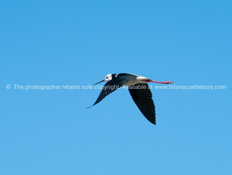 Pied stilt in flight