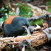 Saddlebacks  rummaging on forest floor searching for insects.